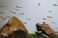画像3: 【淡水魚】ゴールデンテトラ ワイルド【1匹】(テトラ)(生体)(淡水)NKIK (3)