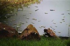 画像4: 【淡水魚】ゴールデンテトラ ワイルド【1匹】(テトラ)(生体)(淡水)NKIK (4)