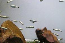 画像5: 【淡水魚】ゴールデンテトラ ワイルド【1匹】(テトラ)(生体)(淡水)NKIK (5)