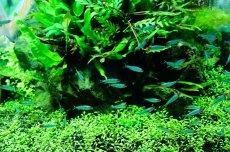 画像3: 【淡水魚】ブリリアントヘッドラミーノーズテトラ【5匹】(生体)【小型カラシン】(熱帯魚)NKIK (3)