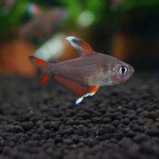 画像2: 【淡水魚】ホワイトフィンロージーテトラ【10匹】(生体)【小型カラシン】(熱帯魚)NKIK (2)