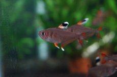 画像3: 【淡水魚】ホワイトフィンロージーテトラ【10匹】(生体)【小型カラシン】(熱帯魚)NKIK (3)
