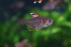 画像4: 【淡水魚】ホワイトフィンロージーテトラ【10匹】(生体)【小型カラシン】(熱帯魚)NKIK (4)