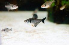 画像1: 【淡水魚】[お取り寄せ]ブラックファントムテトラ【5匹】(生体)【カラシン】(熱帯魚)NKIK (1)