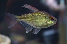 画像1: 【淡水魚】[お取り寄せ]ダイヤモンドテトラ Lサイズ【1匹】(生体)【カラシン】(熱帯魚)NKIK (1)