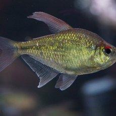 画像2: 【淡水魚】[お取り寄せ]ダイヤモンドテトラ Lサイズ【1匹】(生体)【カラシン】(熱帯魚)NKIK (2)