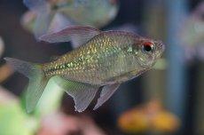 画像3: 【淡水魚】[お取り寄せ]ダイヤモンドテトラ Lサイズ【1匹】(生体)【カラシン】(熱帯魚)NKIK (3)