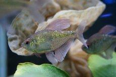 画像4: 【淡水魚】[お取り寄せ]ダイヤモンドテトラ Lサイズ【1匹】(生体)【カラシン】(熱帯魚)NKIK (4)