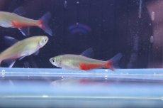 画像3: 【淡水魚】[お取り寄せ]グリーンファイヤーテトラ【30匹】(生体)【カラシン】(熱帯魚)NKIK (3)