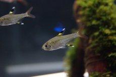画像1: 【熱帯魚】【カラシン】【5匹】[お取り寄せ]プリステラ【カラシン】(生体)(淡水) (1)