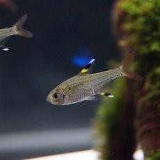 画像2: 【熱帯魚】【カラシン】【5匹】[お取り寄せ]プリステラ【カラシン】(生体)(淡水) (2)