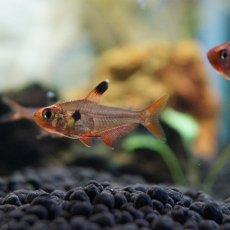 画像2: 【淡水魚】[お取り寄せ]レッドファントムテトラ【10匹】(生体)【カラシン】(熱帯魚)NKIK (2)