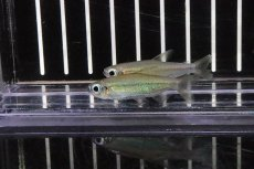 画像1: 【熱帯魚】【サンプル画像 1匹】表示価格より5%OFF 激レア ゴールデンコンゴテトラ スーパーリンゴ ワイルド(珍カラ)(生体)(淡水)NKCK (1)
