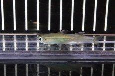 画像2: 【熱帯魚】【サンプル画像 1匹】表示価格より5%OFF 激レア ゴールデンコンゴテトラ スーパーリンゴ ワイルド(珍カラ)(生体)(淡水)NKCK (2)