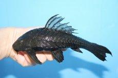 画像1: 【熱帯魚】この大きさで大特価 アーマードプレコ ワイルド【1匹】(±17-20cm)(プレコ)(生体)(淡水)NKP (1)