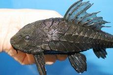 画像2: 【熱帯魚】この大きさで大特価 アーマードプレコ ワイルド【1匹】(±17-20cm)(プレコ)(生体)(淡水)NKP (2)