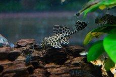 画像2: 【淡水魚】[お取り寄せ]セルフィンプレコ ±5cm【3匹】(生体)【プレコ】(熱帯魚)NKP (2)