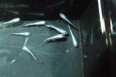 画像3: 【淡水魚】Sグレード 幹之スーパー強光メダカ【1匹】(変わりメダカ)(生体)(淡水)NKKM (3)