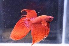 画像1: 【熱帯魚】【サンプル画像 1匹】トラディショナル(色指定できません)(ベタ)(生体)(淡水)NKBT (1)