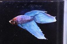 画像2: 【熱帯魚】【サンプル画像 1匹】トラディショナル(色指定できません)(ベタ)(生体)(淡水)NKBT (2)
