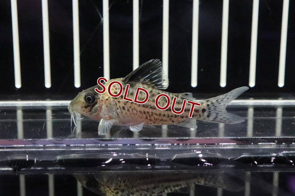 画像1: 【熱帯魚】大特価 コリドラスcf インコリカーナ コロンビア産 ワイルド【1匹】(±5cm)(コリドラス)(生体)(淡水)NKCR (1)