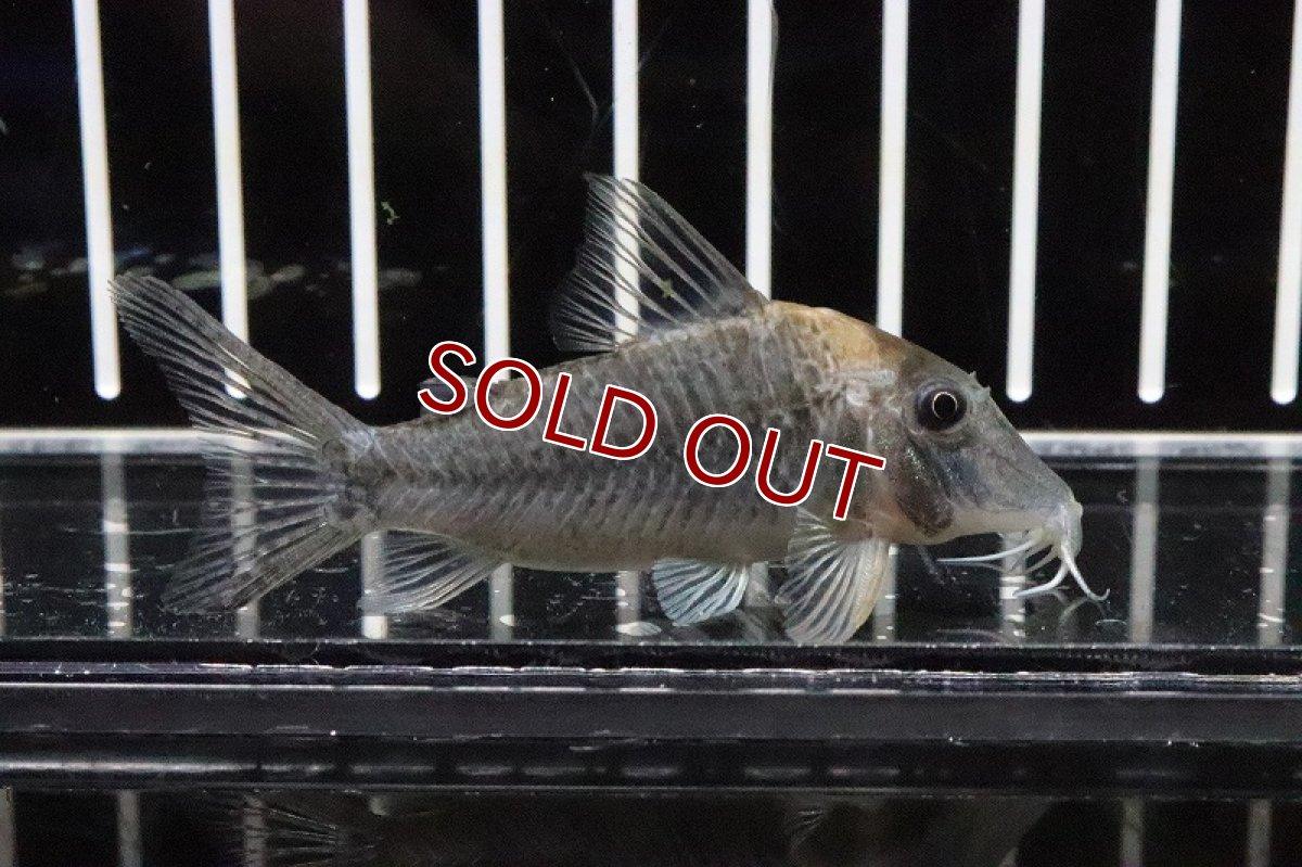 画像1: 【淡水魚】激安 コリドラス ロングノーズ ルイーザ リオタパジョス産 ワイルド【1匹】(±28cm)(生体)(コリドラス)(熱帯魚)NKCR (1)