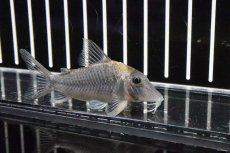 画像2: 【淡水魚】激安 コリドラス ロングノーズ ルイーザ リオタパジョス産 ワイルド【1匹】(±28cm)(生体)(コリドラス)(熱帯魚)NKCR (2)
