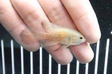 画像1: 【淡水魚】レア種 ロングフィン アルビノレッドタイガーオスカー【1匹】(±5cm)(大型魚)(生体)(熱帯魚)NKO (1)