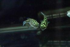 画像4: 【淡水魚】完全淡水ミドリフグ【1匹】(フグ)(生体)(熱帯魚) (4)