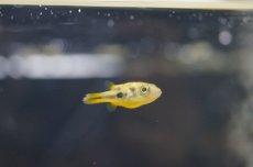 画像1: 【淡水魚】アベニーパファー【1匹】(生体) (淡水フグ)(熱帯魚) (1)