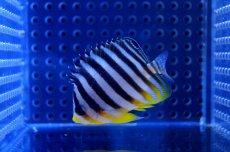 画像1: 【海水魚】シマヤッコ(XS-Sサイズ)(1匹)40-45mm前後(生体)(海水魚)(サンゴ) (1)