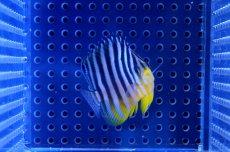 画像2: 【海水魚】シマヤッコ(XS-Sサイズ)(1匹)40-45mm前後(生体)(海水魚)(サンゴ) (2)