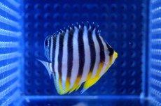画像3: 【海水魚】シマヤッコ(XS-Sサイズ)(1匹)40-45mm前後(生体)(海水魚)(サンゴ) (3)
