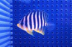 画像1: 【海水魚】シマヤッコ(SM-Mサイズ)(1匹)50-55mm前後 (生体)(海水魚)(サンゴ) (1)