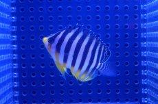 画像3: 【海水魚】シマヤッコ(SM-Mサイズ)(1匹)50-55mm前後 (生体)(海水魚)(サンゴ) (3)