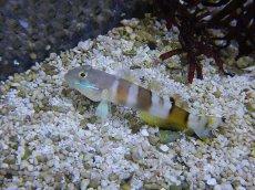 画像1: 【海水魚】ササハゼ(1匹)±5-8cm(生体)(海水魚)(サンゴ) (1)