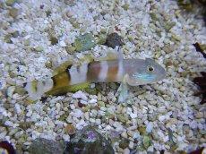 画像2: 【海水魚】ササハゼ(1匹)±5-8cm(生体)(海水魚)(サンゴ) (2)
