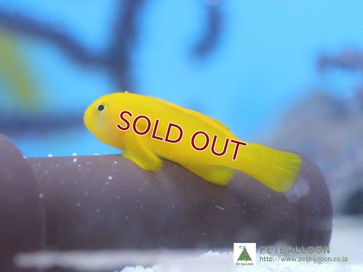 画像1: 【海水魚】【サンプル画像】キイロサンゴハゼ【3匹】【ハゼ】(生体)(海水) (1)