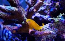 画像2: 【海水魚】キイロサンゴハゼ(1匹)(生体)(海水魚)(サンゴ) (2)