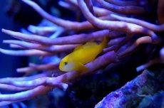 画像3: 【海水魚】キイロサンゴハゼ(1匹)(生体)(海水魚)(サンゴ) (3)