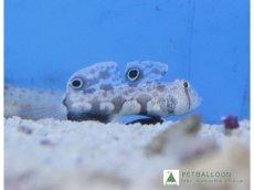 画像1: 【海水魚】カニハゼ (2匹)4-5cm前後(生体)(海水魚)(サンゴ) (1)