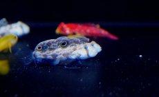 画像3: 【海水魚】カニハゼ (2匹)4-5cm前後(生体)(海水魚)(サンゴ) (3)