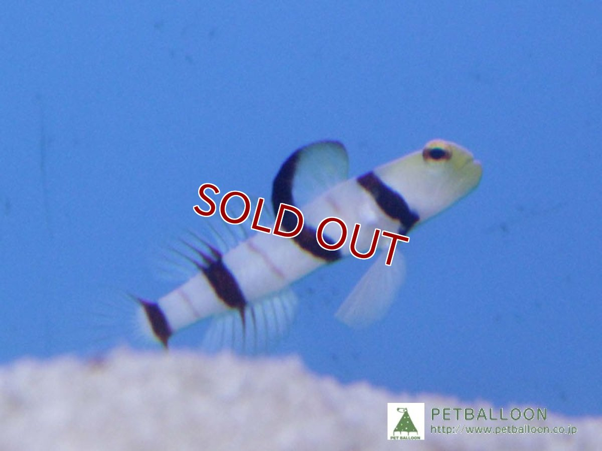 画像1: 【海水魚】ドラクラシュリンプゴビー(1匹)(生体)(海水魚)(サンゴ) (1)