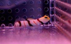 画像2: 【海水魚】ドラクラシュリンプゴビー(1匹)(生体)(海水魚)(サンゴ) (2)