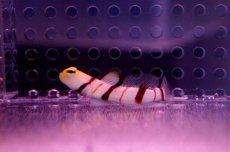 画像3: 【海水魚】ドラクラシュリンプゴビー(1匹)(生体)(海水魚)(サンゴ) (3)
