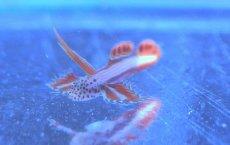 画像1: 【海水魚】ホムラハゼ(1匹)3cm前後(生体)(海水魚)(サンゴ) (1)