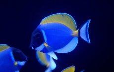 画像1: 【海水魚】パウダーブルータン SMサイズ (1匹)6-8cm前後(生体)(海水魚)(サンゴ) (1)