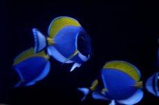 画像2: 【海水魚】パウダーブルータン SMサイズ (1匹)6-8cm前後(生体)(海水魚)(サンゴ) (2)