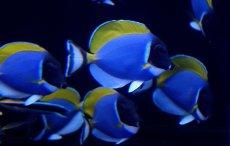 画像3: 【海水魚】パウダーブルータン SMサイズ (1匹)6-8cm前後(生体)(海水魚)(サンゴ) (3)