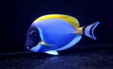 画像1: 【海水魚】パウダーブルータン MLサイズ (1匹)10-12cm前後(生体)(海水魚)(サンゴ) (1)